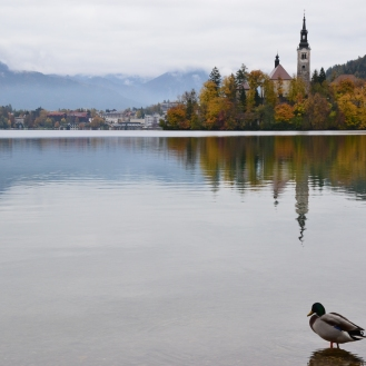 Ducks in Bled, Slovenia