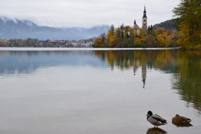 Ducks in Bled, Slovenia