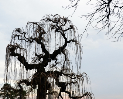 Weeping willow, Belgrade, Serbia