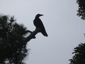 Crow, Japan